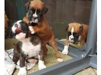 Adorable Boxer pups