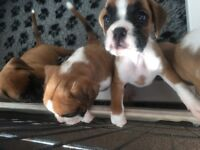 Female boxer puppy