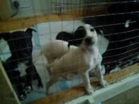 Bull terrier x puppies (must go today)