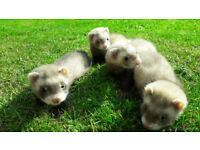 champagne ferret kits, hobs and jills,fully hand tamed