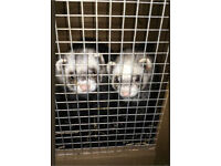 FERRETS FREE TO A GOOD HOME!!