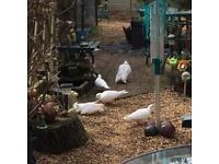 White Doves for sale