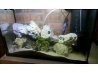 11 Malawi cichlids and ocean rock