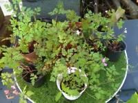 Perennial garden spreading plant £1 a pot