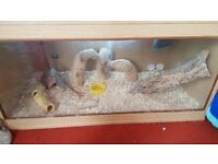 2 bearded dragon lizards and vivarium, full set up