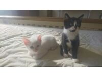 Pure white kittens for sale