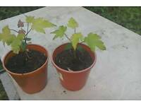 "Two sycamore tree plants in pots. 6"" high."