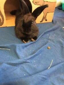 "Adult Male Rabbit - American: ""Onyx"""