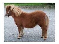 Miniature Shetland Pony Fillie