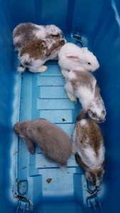 Purebred French lops