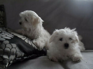 Two Adorable Maltese Puppies for sale Text me via 450-639-0783