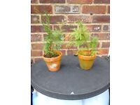 2 small slow growing conifers in clay pots.