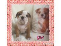 KC registered Bulldog pups for sale