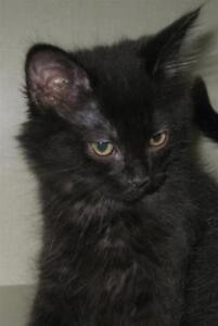 "Baby Female Cat - Domestic Medium Hair: ""Luna"""