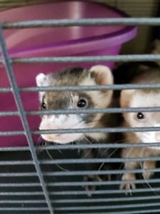 Cuddly Cavies Has a Ferret and Guinea Pig available
