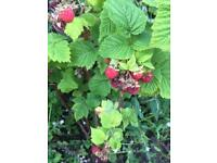 Strawberry and raspberry plants