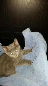 """Baby Male Cat - Russian Blue: """"5 of 6"""""""