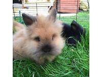 Lion head rabbit (pedigree) for sale!