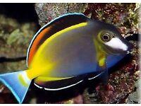"3,5"" gold rim powder brown tang marine salt tropical water fish tank Leicester"