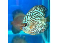 Discus for sale - 3 & 4 inches - from 16.99 - Tropical Fish - Pigeon Blood, Snake Skin, Turks