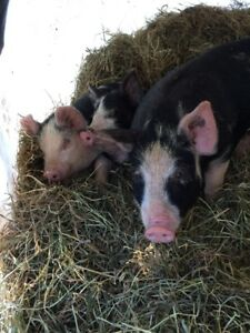 Locally raised pigglets for sale