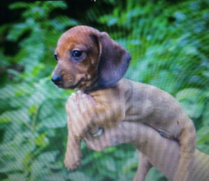 Chiot male teckel roux