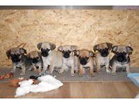 Pug x chihuahua puppies