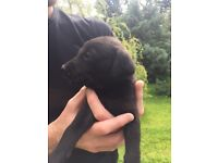 Lovely whipodor puppies for sale - pedigree Labrador /whippet cross . Parents can be seen