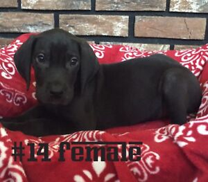 Great Dane Puppies, Ready To Go Now!