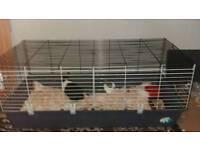 2 x Dutch rabbits 12 week old