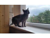 Pure Russian Blue Male Kitten