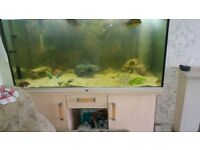 saltwater fish puffers & box fish