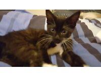 Kitten. Black and White