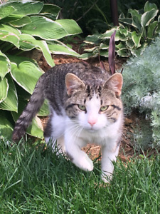 Found Male Cat - Grey Tabby with White DSH