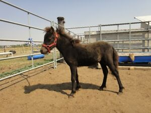 MINIATURE COLT FOR SALE