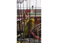 Billy the Budgie needs a new home
