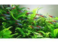 neon tetra & black neons & glowlight tetra tropical fish £1