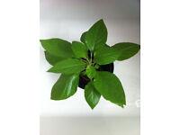 Naga Chilli/Bhut Jolokia Plants!