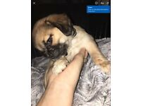 For sale pug puppy