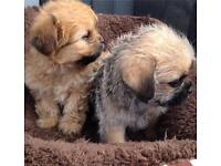 lhasa apso cross maltese puppies for sale