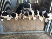 Border Collie Pup for sale