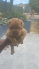 BEAUTIFUL - Dogue de Bourdeux Female Puppy - FOR SALE
