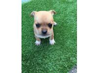 5 amazing and pug x jack Russell's pups for sale