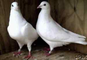 Pure White Doves aka Homing pigeons