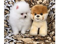 Stunning White Pom Puppies for Sale