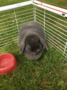 Holland lop Lola with cage