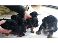 Yorkshire Terrier Teddy Bear Puppies - ready to go - Rochdale