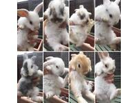 Baby rabbits 🐰 £30 each