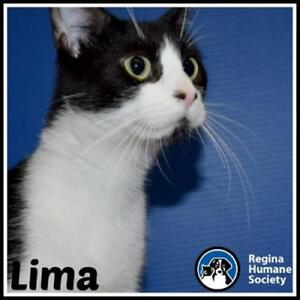 "Adult Female Cat - Domestic Short Hair: ""Lima*"""