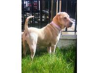 Beautiful Shar-Pei dog, very sad sale